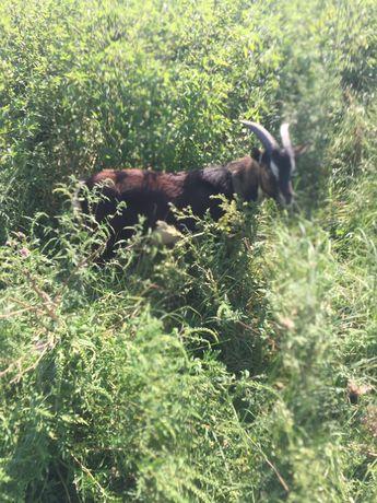 Покрытие камерунским козликом