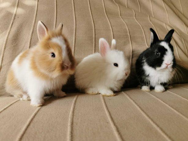 KIT completo coelhos anões holandês mini e teddy muito dóceis
