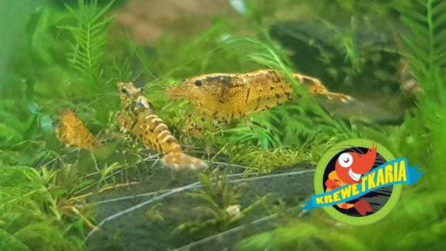Krewetki Tangerine Tiger + gratis