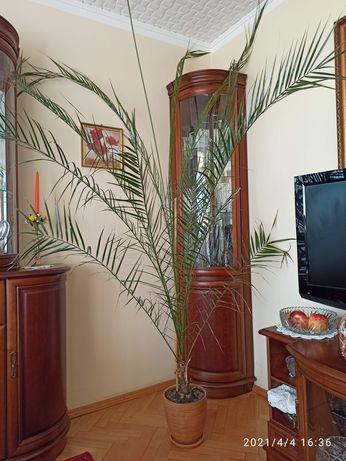 Palma wysokość 2,6 m. zdrowa, bez żółtych końców + doniczka i podstawa