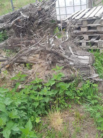 Korzenie olszyny