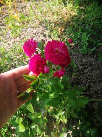 Троянда плетиста малинова