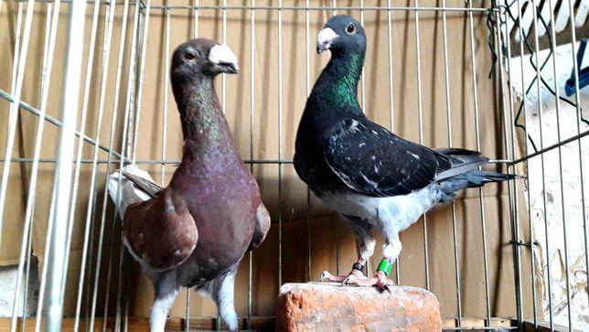 Gołębie z lotu. Niemieckie wystawowe garbinosy. Para nr2