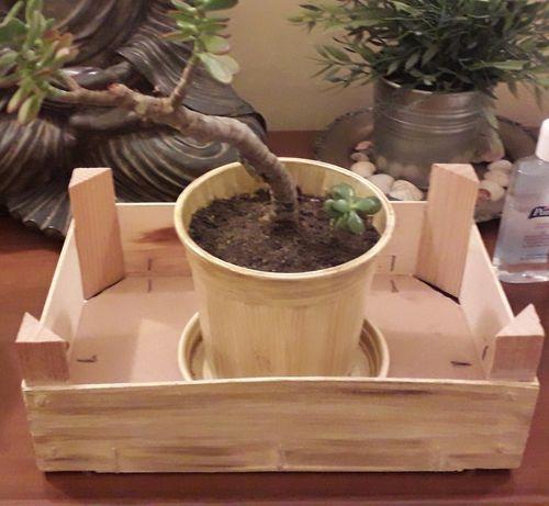 Planta ornamental Suculenta