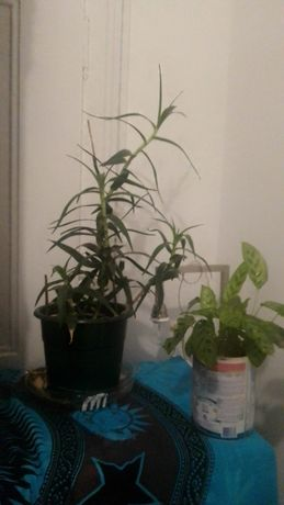 Planta natural cana da sorte