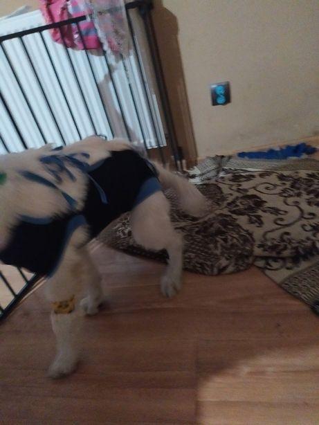 Fartuszek pooperacyjny dla psa ok 15 kg