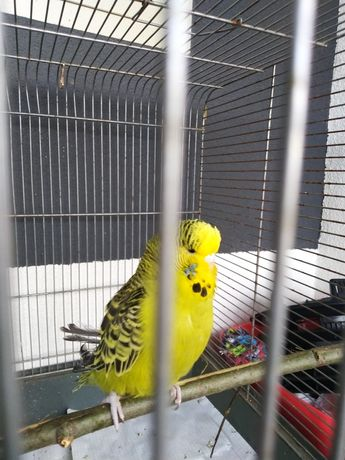 Młoda papużka falista