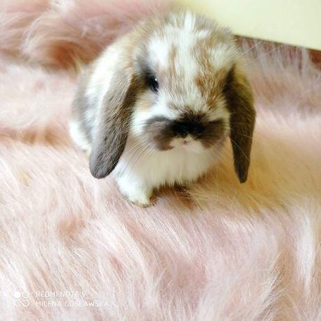 Mini lop, króliczek miniaturka, baranek, królik