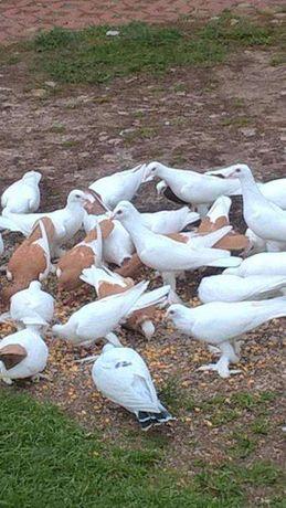 Gołąb bocian gołębie bociany 20 zł/szt.