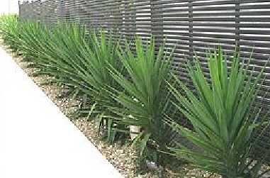 Planta de Exterior - Yuca