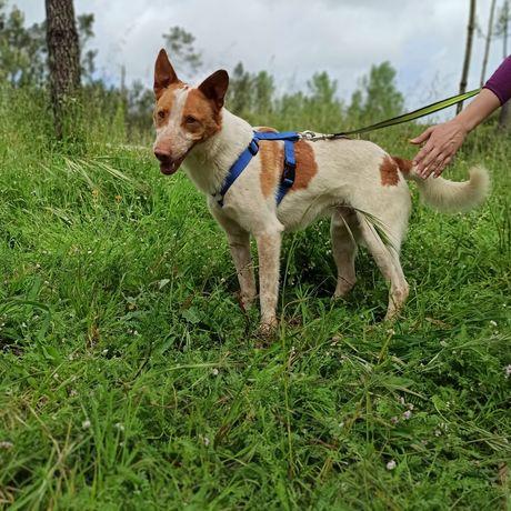 Leslie- cachorro de porte médio para adoção