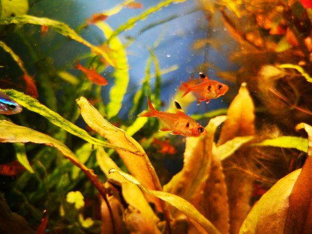 Rybka akwariowa fantom czerwony ozdobny