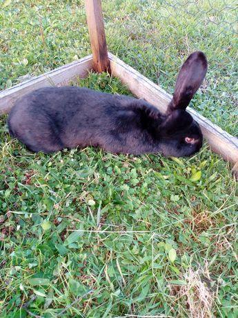 Sprzedam króliki srokacze samce i samice