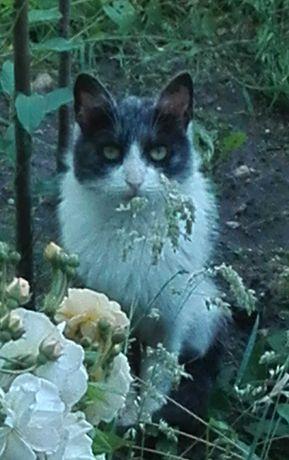 Zaginęła biało - czarno -  ciemnoszara kotka