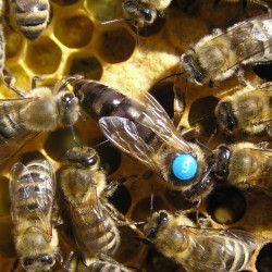 Матки бджолині, Карніка, Карника (бджоломатки Carnica)