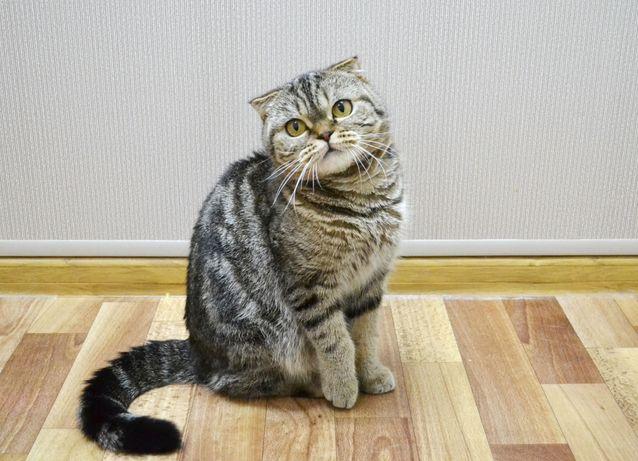 Вислоухая мраморная кошечка. Котята вислоушкиъ