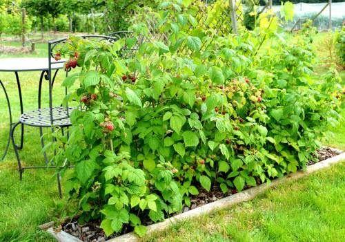 Ekologiczne ogrodzenie, owoc w tym roku, sadzonki malin WYSYLKA