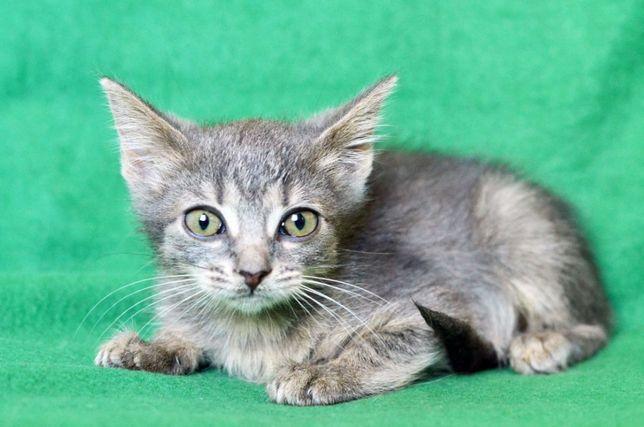 Герда, пепельно-серый котеночек ищет Дом!