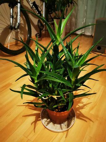 Aloes Drzewiasty Roślina