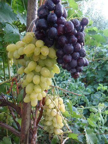 вегетирующие саженци винограда