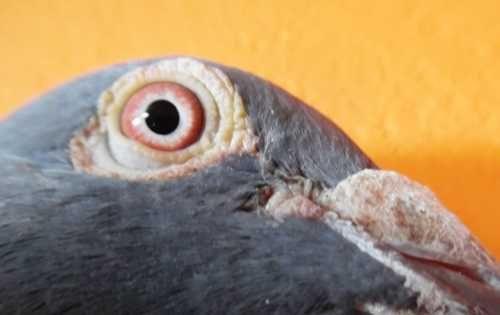 Gołębie Pocztowe!Kapitalny Ptak! Ciemny Szali+ czip! Piękne Oko