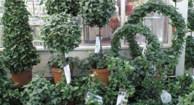 Плющ садовий,  багаторічна ліана,   плющ