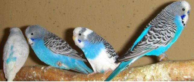 Papugi Faliste papuga zeberka zeberki