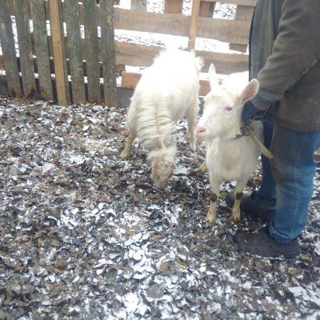 Козел Ламанч для покрытия ваших коз