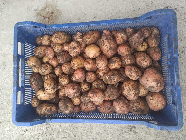 Młode Ziemniaki bellarosa