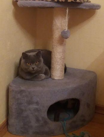 Шотландская прямоухая кошечка ищет котика