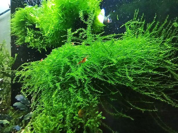 Mech Flat Moss