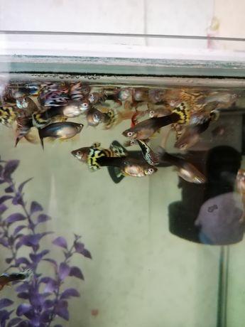 Рыбки гуппи ассорти