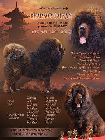 тибетский мастиф ВЯЗКА