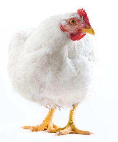 Kury Brojlery Kurczaki