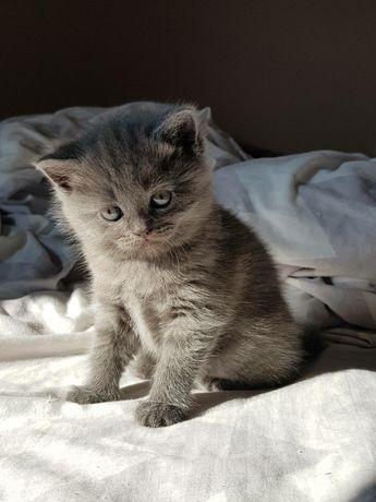 Британські прямовухі кошенята