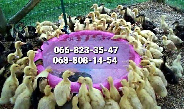 Мулард Бройлер мясо-яичные Цыплята Утята куры Доминант Индюшата Биг6