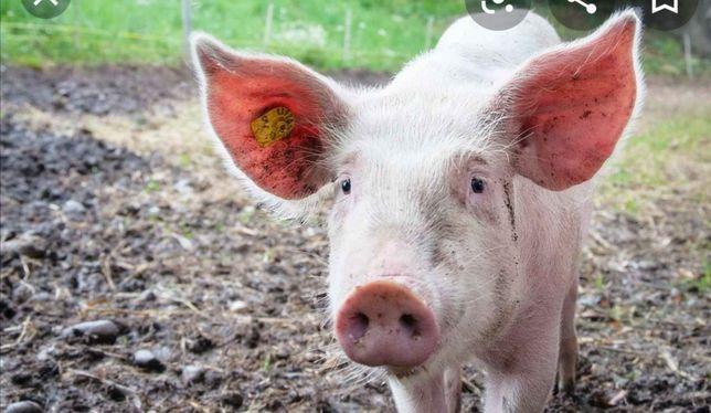 Świnia z własnego chowu