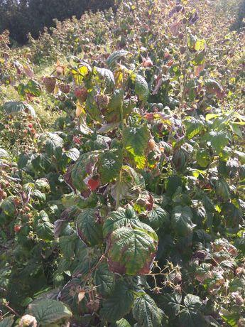Sadzonka malin jesiennych
