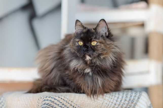 Клара, 7 мес, кошечка, котенок, кошка, красивая кошка