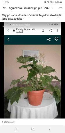 Begonia lub papirus