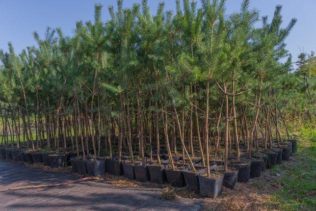 Sosna Zwyczajna (Pinus Sylvestris), wys. 100-110cm, donica 2l