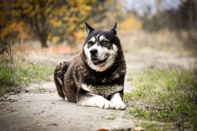 Nord - zrównoważony, dojrzały pies w typie husky
