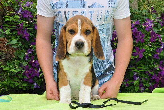 Beagle Piękne szczenięta po Championie ZKWP FCI pieski i suczki