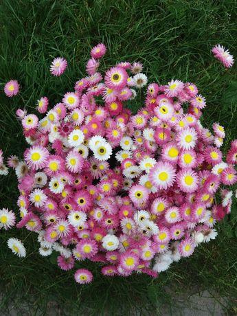 Акроклинум/сухоцвет/цветы/цветы для творчества/букет/подарок/декор