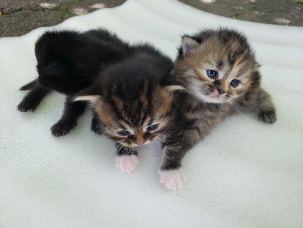 Уникальные и очаровательные котята Сибирсы и Персибы!
