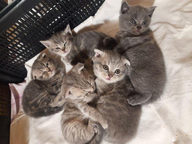 Висловухі та прямовухі кошенята