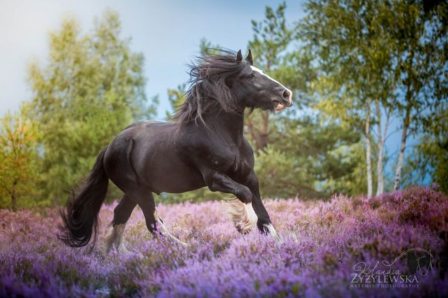 Ogier shire (klacz tinker clydesdale)
