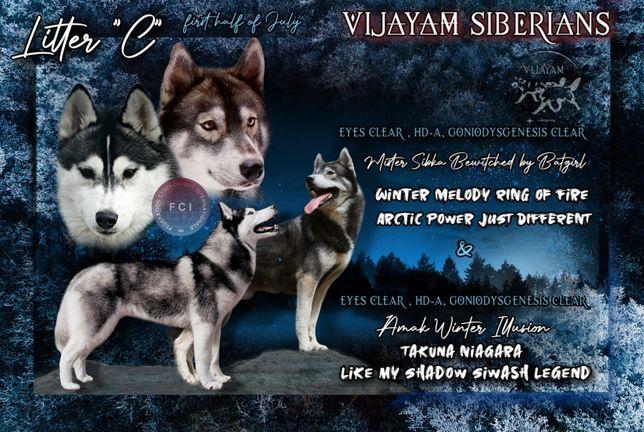 Siberian husky ZkwP FCI