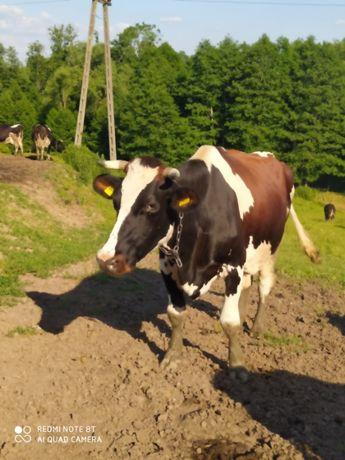 Krowy mleczne 10 sztuk oraz 2 jałówki cielne