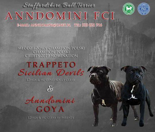 Staffordshire Bull Terrier FCI (ZKwP) staffik piesek